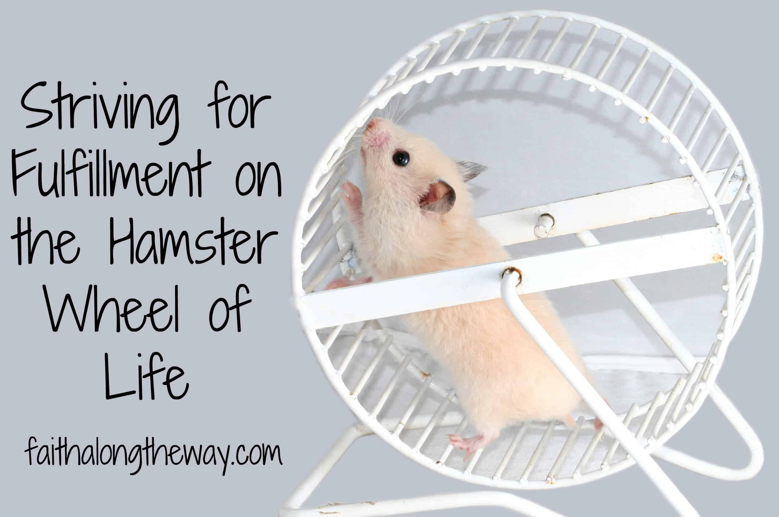 White hamster isolated on gray roling whell
